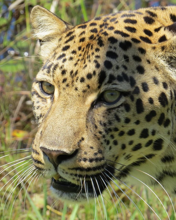 Leopard- Plettenberg Bay, South Africa