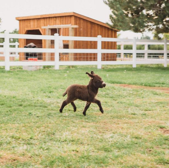 And this is a mini donkey galloping on his adorable little short legs through the paddock. One of 20 miniature donkeys looking for a home.