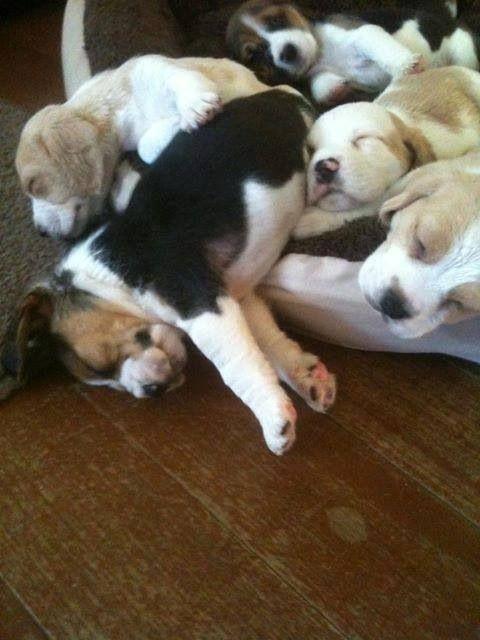 Best Beagle Chubby Adorable Dog - 0abf639a3fb527cc2cc727962316f372--beagle-puppies-beagles  Gallery_782482  .jpg