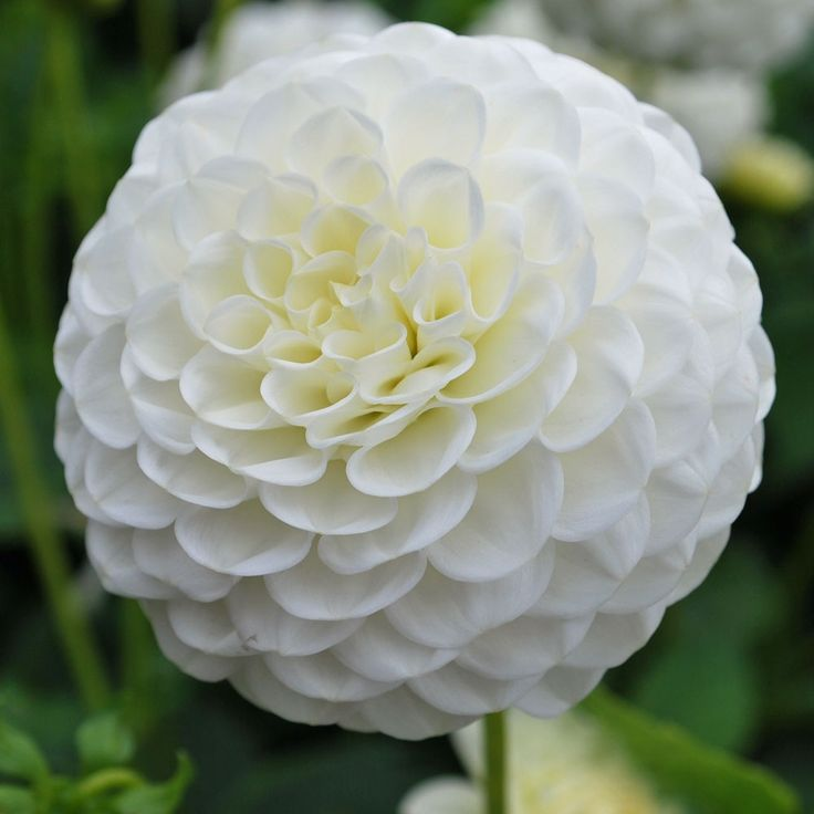 10 best late july flowers images on pinterest july flowers flower white ball dahlia mightylinksfo