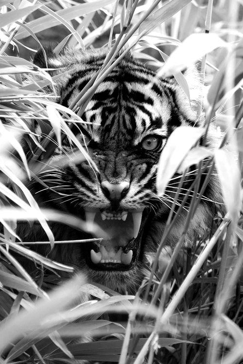 tiger   roar   fierce   jungle   big cat   black & white   animal kingdom   www.republicofyou.com.au