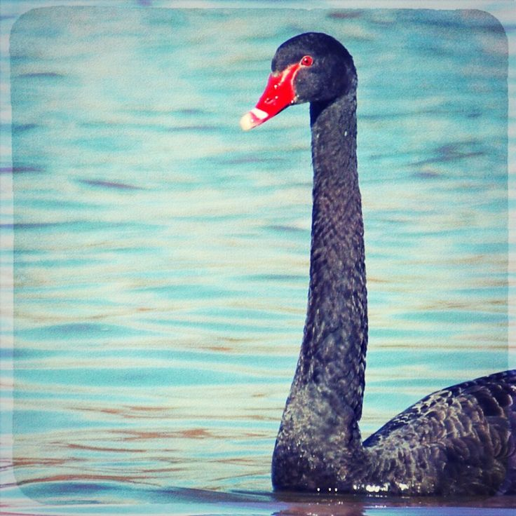 a black swan on the lake.  (texture used: http://www.flickr.com/photos/41043877@N06/4340660343/)