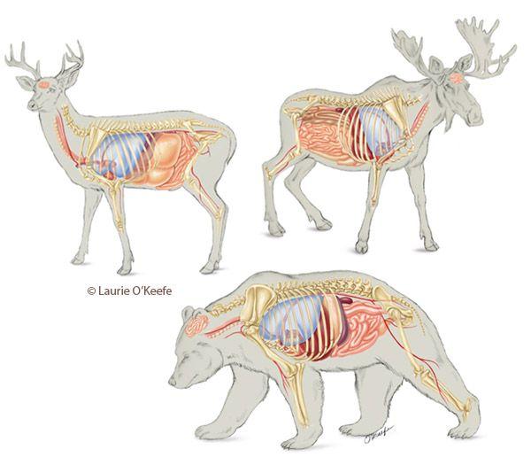 moose anatomy and deer on pinterest. Black Bedroom Furniture Sets. Home Design Ideas
