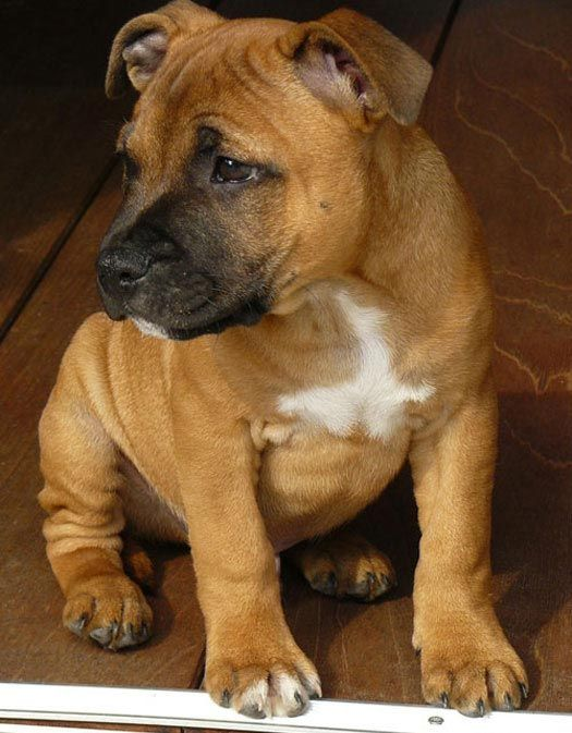 Staffordshire Bull Terrier pup. I want him soooo bad!!