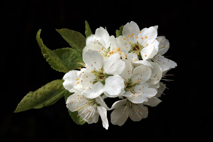 Not only did Queen Victoria pioneer the trend for white wedding dresses, why also began a lesser known tradition within the royal family. Since her marriage all princesses have married with a sprig of myrtle in their bouquet. The plant represents love and marriage and is always taken from Queen Victoria's own 170 year old garden.