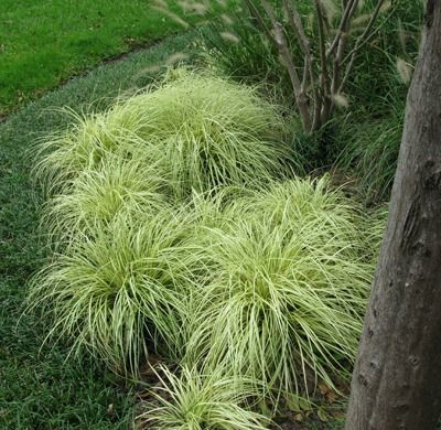 151 best images about ornamental grasses on pinterest for Landscape grasses for sun