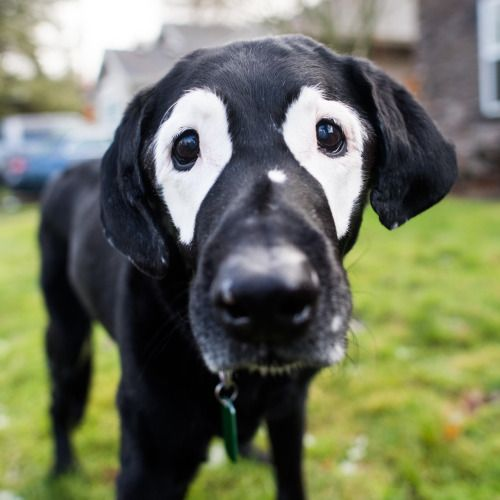 """Rowdy, Labrador Retriever (13 y/o), Canby, OR • """"He has vitiligo. I've seen other dogs that have it, but never so symmetrical. His belly and toenails turned white too (he used to be all black). He's the ambassador for the American Vitiligo Research..."""