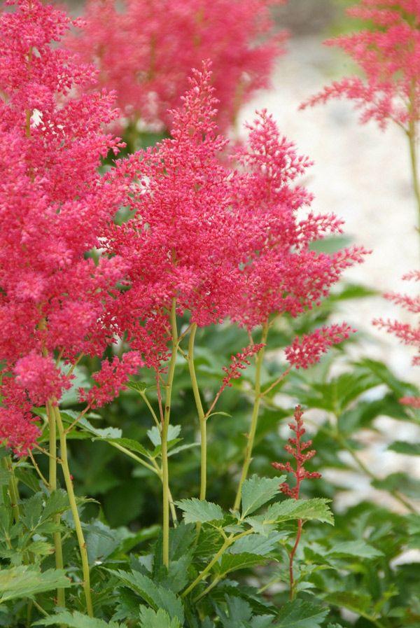 Astilbe Red Sentinel. Tip: plant zomerbloeiers in een pot, schaal of kuip zodat ze kleur kunnen brengen waar jij dat wil.