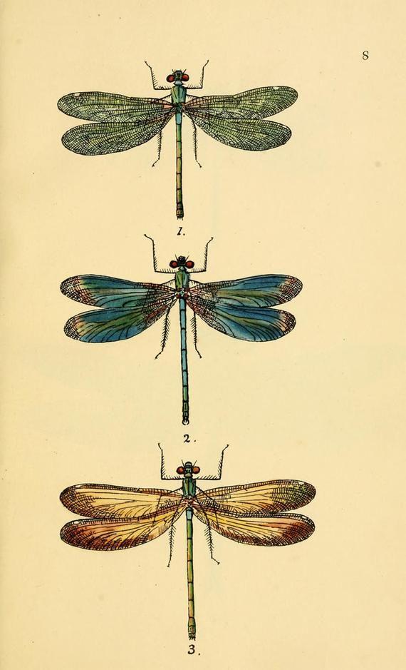 dragonfly art print, an antique scientific illustration, printable digital download no. 1404