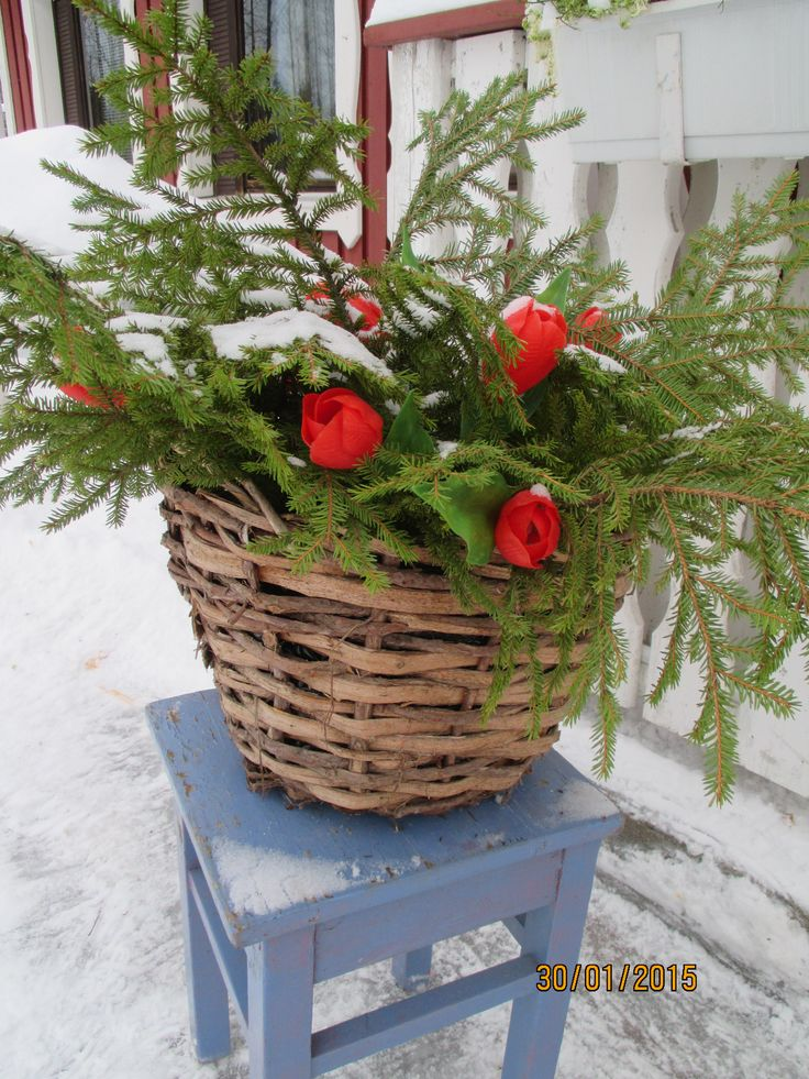 Rikki menneet valotulppaanit somistavat talvista havuasetelmaa