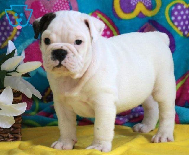 Sam Bulldog Puppies Bulldog Puppies For Sale Puppies