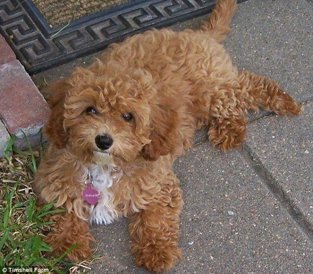 Shelter Mixed Breeds Designer Dogs
