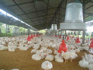 Avicultura - Pollos de engorde - Carlos Villagómez Rendón - Avipunta: SOFTWARE o PROGRAMA AVIPUNTA para pollos de engorde
