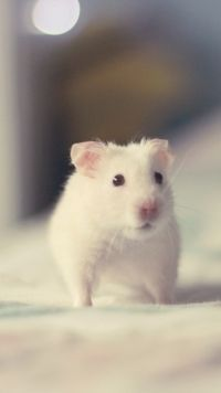 Animal hamster Mobile Wallpaper
