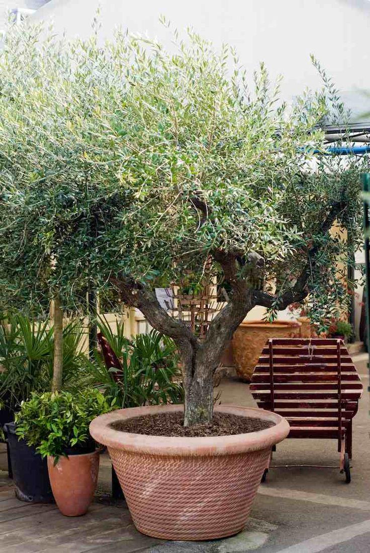 olivier en pot en céramique pour décorer la terrasse à la méditerranéenne