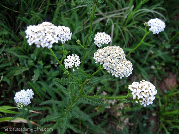 Yarrow infusion is most effective when taken at the onset of the flu symptoms, but it can also help before the problem starts. Learn more at the link.
