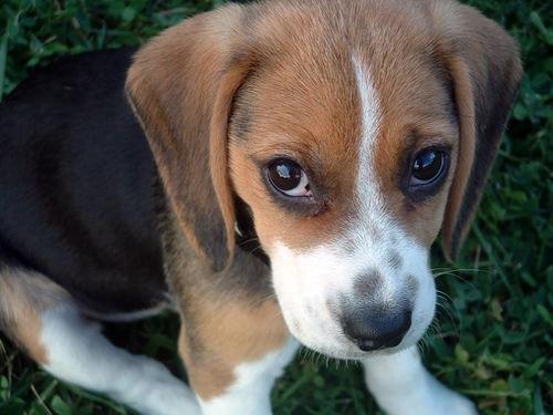 Beagle - Search & Rescue - YouTube