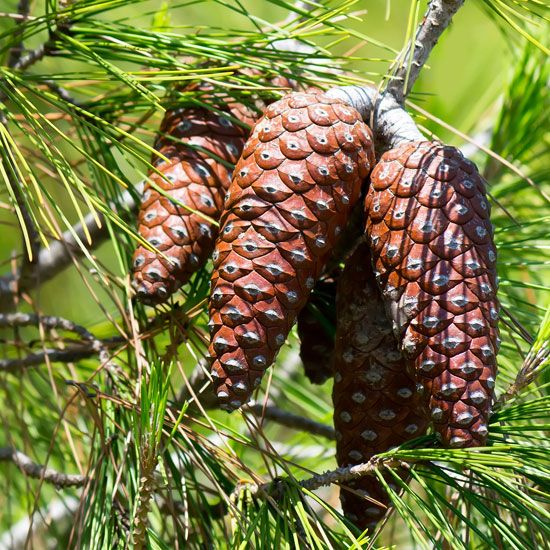 Growing Pine Trees From Seed