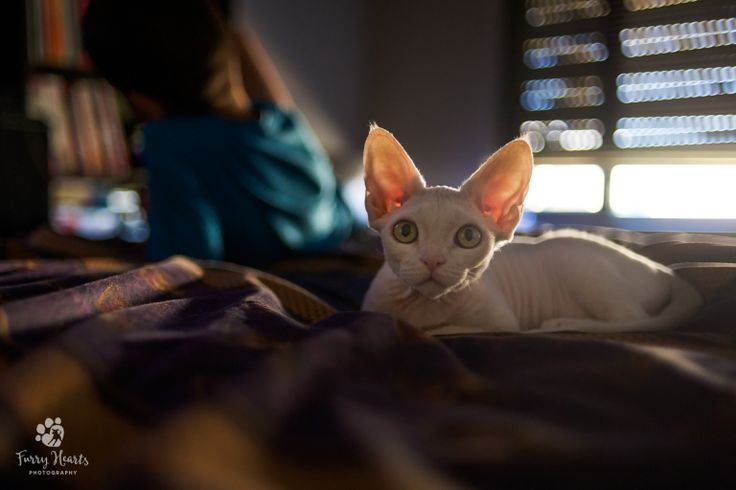 Devon Rex on a bed
