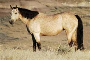 136 best images about Buckskin and Dun Horses on Pinterest