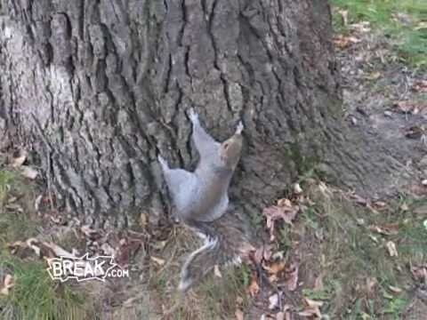 Drunk Squirrel Tries to Climb Tree - Break Fails  - OOOOOhhhhhh!  He's gonna have one heck of a hangover!!