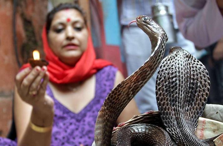 Vorsicht bissig: Eine indische Frau betet beim Nagpanchami Fest in Jammu eine Königskobra an. Bei der traditionellen Veranstaltung in der Region Kaschmir werden den Schlange Opfer gebracht und Milch verabreicht.