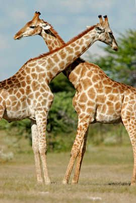 Phoenix Zoo - one of the younger zoos in the country. Not only it is a successful zoo, but it is a privately owned, nonprofit zoo. The Phoenix Zoo is open every single day of the year, including December 25th. Visit www.guestmob.com for quality hotels nearby.