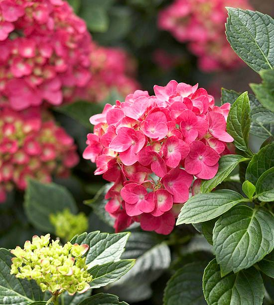 Pink Shira     A relatively new mophead variety, Pink Shira Hydrangea macrophylla is a favorite for its strong stems, compact habit, and long-lasting blooms. Its flowers start out a lovely shade of lime green then turn pink or lavender (this one doesn't go blue. It grows 5 feet tall and 6 feet wide. Zones 5-9
