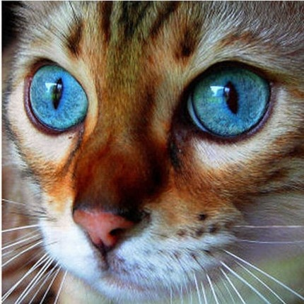 Wow! Look at the eyes on this cat. Awesome!Beautiful Cat, Cat Eye, Bengal Cat, Blue Eye, Bengalcat, Beautiful Eye, Deep Blue, Animal, Cat Photos