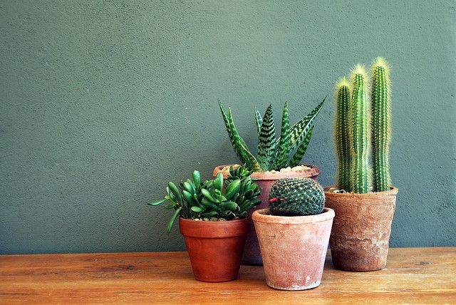perfect little arrangement of cacti
