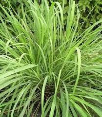 Lemongrass etherische olie