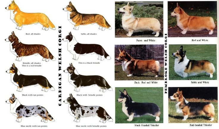 pembroke welsh corgi color genetics - Google Search