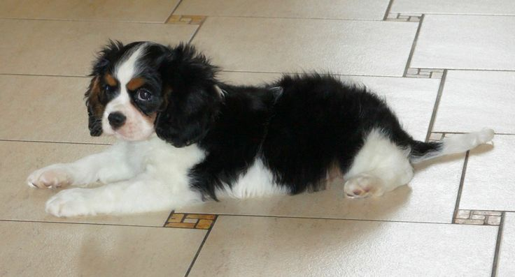 The Cavalier King Charles Spaniel has descended from spaniel roots, as is evident in the name.