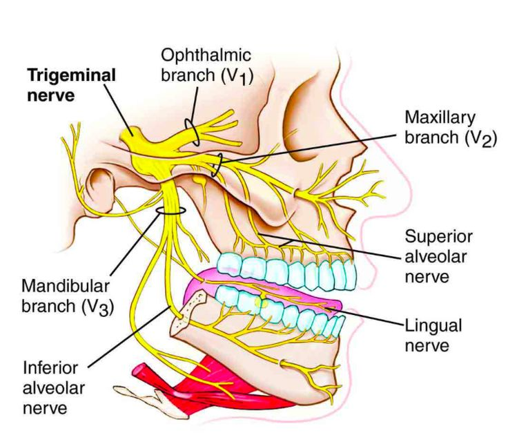 cranial nerve #5: Trigeminal nerve! it is the largest/thickest of the cranial nerves. It is both a sensory and a motor nerve. It provides sensory information to face (touch, pain and temperature) and muscles of mastication. For motor, it provides the chewing motion and the temporals (elevation of mandible).