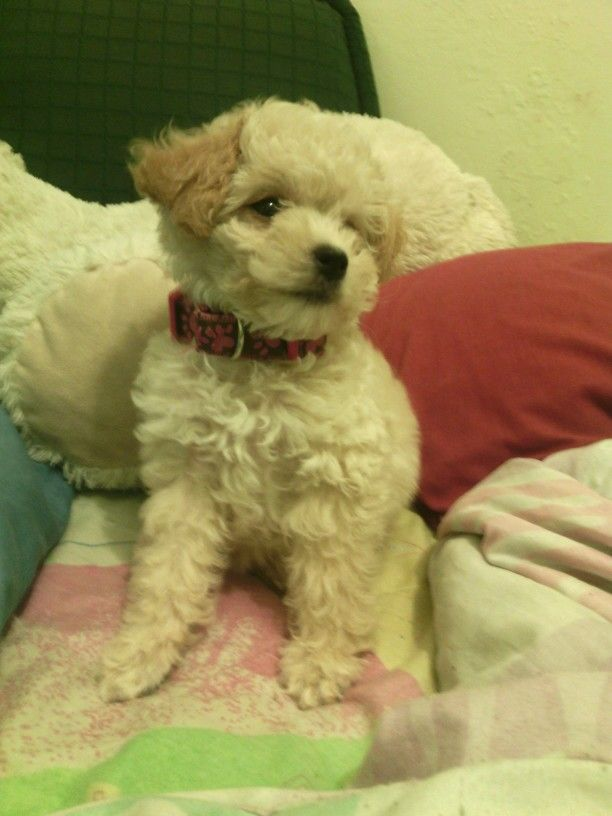 My French Poodle Miniature Puppy / Mi French Poodle Tacita Cachorro