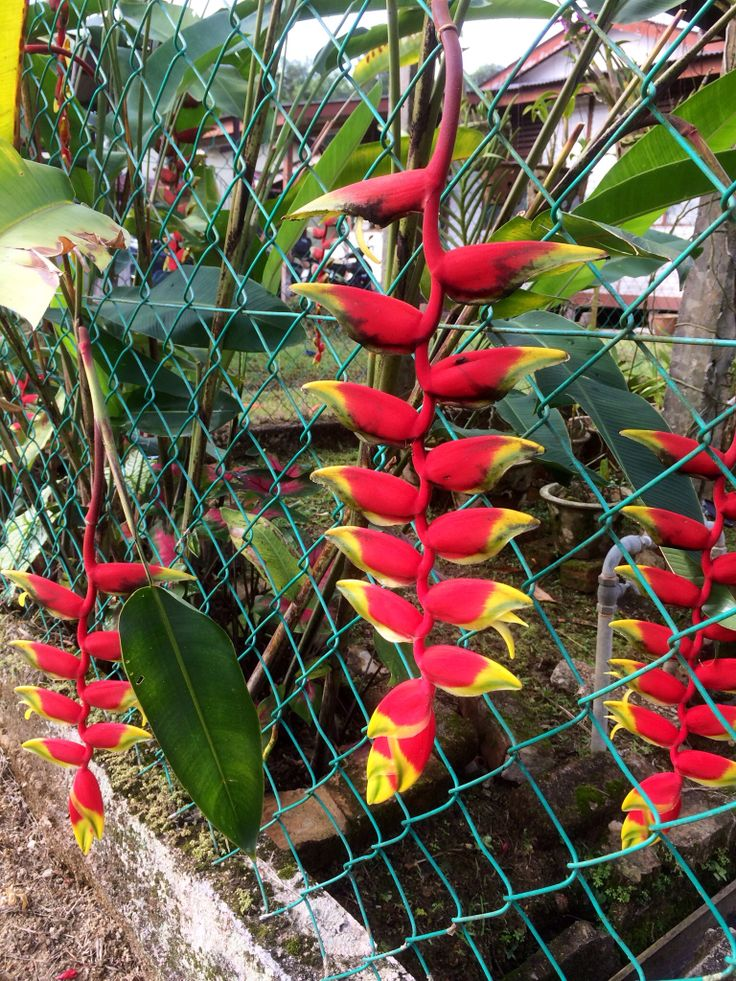 Heliconia at the front corner of my garden.