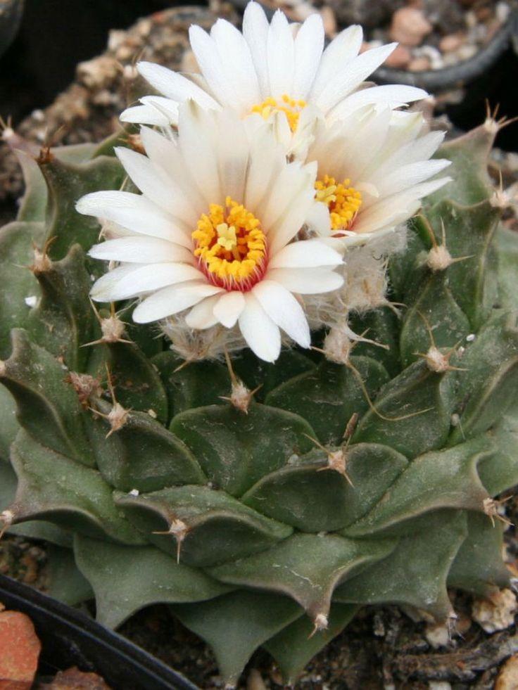875 best images about cactus succulent piante grasse for Cactus piante grasse