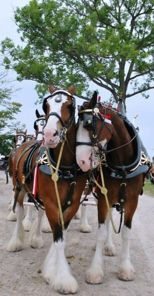 Clydesdale nuzzles