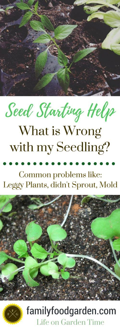 Find out what is wrong with your seedlings: from damping off, gnats, over watering and no germination