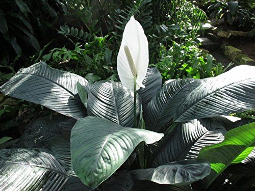 Peace Lily at the garden: Spathiphyllum (English Edition)