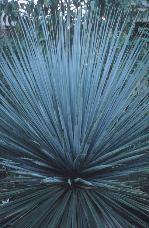 Nolina nelsonii (Nelson's Blue Bear Grass)