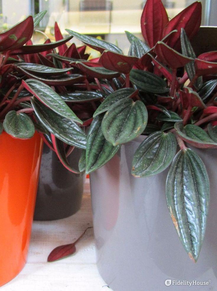 Pianta sempreverde da appartamento originaria dell'America meridionale, la peperomia ha grosse foglie con varie intensità di verde.