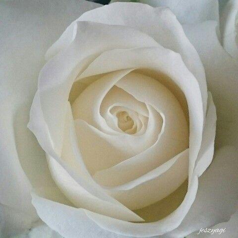 Flower Photo, rose photo, macro photo