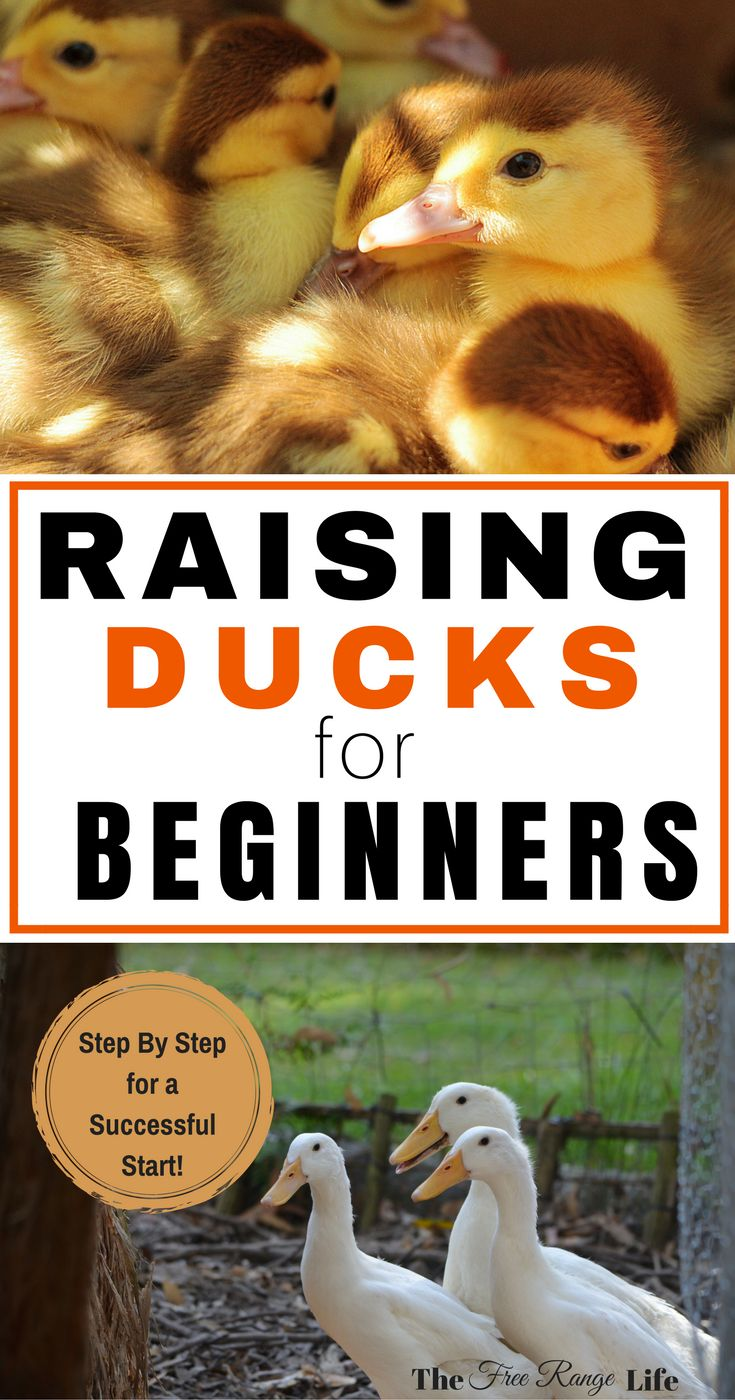 The Best information on Raising ducks! Learn how to raise ducks from ducklings to adults...for pet ducks, ducks for eggs, or ducks for meat