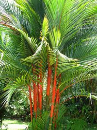 Types Of small Palm Trees | lipstick palm tree10 Palm Tree Types