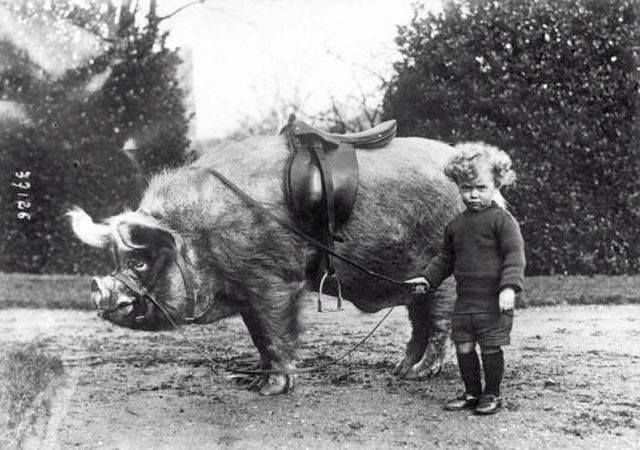 It's not quite a pony, but close enough.  -Boy and his boar, 1930.
