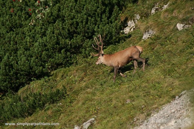 through geographer's eyes: Deer rut in Polish mountains