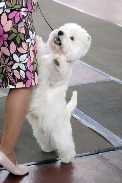 White Scottie Dog For Sale Liverpool