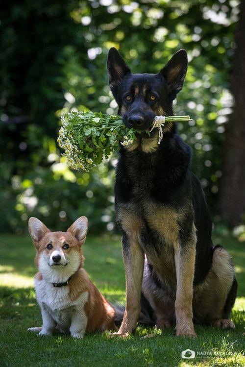 Corgi and German Shepherd on Tumblr