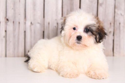 Zuchon puppy for sale in MOUNT VERNON, OH. ADN-32622 on PuppyFinder.com Gender: Male. Age: 9 Weeks Old